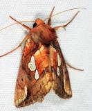 8951.1 - Plusia magnimacula