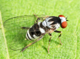 Flat-footed Flies - Platypezidae