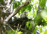Red-shouldered Hawk - Buteo lineatus (Chicks on nest)