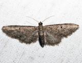 Eupithecia sp.2