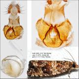 2859 - Celypha Moth - Celypha cespitana IMG_4131.jpg