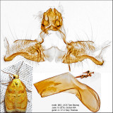 3502 - Red-edged Acleris - Acleris albicomana