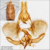 3594 - Three-lined Leafroller - Pandemis limitata IMG_4158.jpg