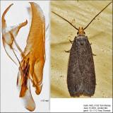 1140 - Glyphidocera lithodoxa IMG_4192.jpg