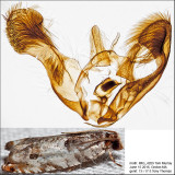 3277 - Rhopobota dietziana IMG_4209.jpg