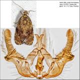 2837 - The Astronomer Moth - Olethreutes astrologana IMG_4228.jpg