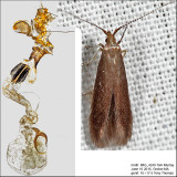1271 - Cherry Casebearer Moth -Coleophora pruniella IMG_4249.jpg