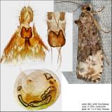 2862 - Green Budworm Moth - Hedya nubiferana IMG_4295.jpg