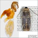 0055 - Zimmermannia bosquella IMG_4322.jpg