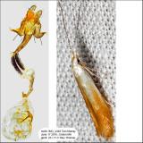 1277 - Coleophora cornivorella IMG_4348.jpg