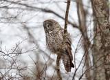 Great Gray Owl - Strix nebulosa