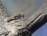 Brown Creeper - Certhia americana