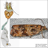 2859 - Celypha Moth - Celypha cespitana IMG_4370.jpg
