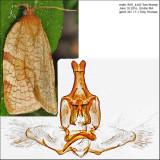 3675 - Wide-striped Leafroller - Aphelia alleniana IMG_4440.jpg