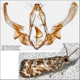 2745 - Spruce Needleminer Moth - Taniva albolineana IMG_4462.jpg