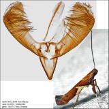 0639 - Caloptilia stigmatella IMG_4664.jpg