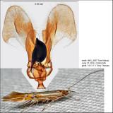 Cosmopterix sp. IMG_4697.jpg