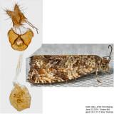 2859 - Celypha Moth - Celypha cespitana