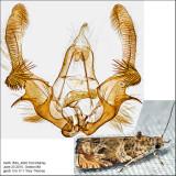 2778 - Olivaceous Olethreutes - Olethreutes olivaceana