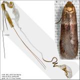 Pigritia sp. IMG_4878.jpg