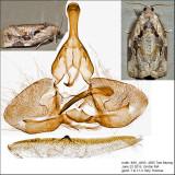 3660 - Gray Archips - Archips grisea