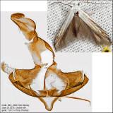 Coleophora atromarginata? IMG_4896.jpg