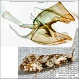0263 - Nemapogon sp. nr. auropulvella IMG_4950.jpg