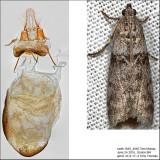 5788 - Meroptera abditiva