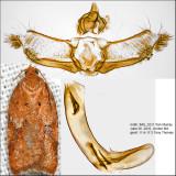3518 - Acleris braunana