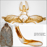 3527 - Schaller's Acleris Moth - Acleris schalleriana IMG_5434.jpg