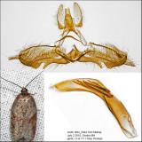3527 - Schaller's Acleris Moth - Acleris schalleriana IMG_5944.jpg