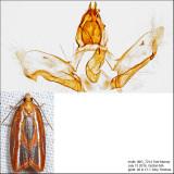 3548 – Eastern Black-headed Budworm Moth – Acleris variana
