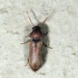 Ctenobium antennatum