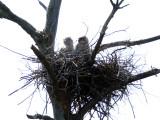 Great Horned Owls - Bubo virginianus
