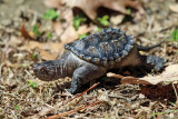 young Common Snapping Turtle - Chelydra serpentina