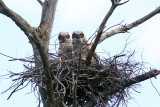 Great Horned Owlets - Bubo virginianus