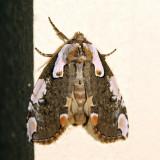 6240 - Dogwood Thyatirid - Euthyatira pudens