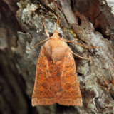 9942 - Red-winged Sallow - Xystopeplus rufago