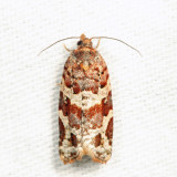 3603 - Jack Pine Tube Moth - Argyrotaenia tabulana