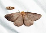 6892 - Yellow-headed Looper - Lambdina pellucidaria