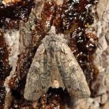 9909 - Luke-warm Pinion Moth - Lithophane tepida
