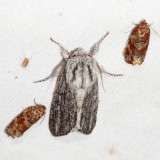 9274 - Pointed Dagger Moth - Acronicta lanceolaria