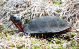 Wood Turtle - Clemmys insculpta