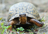 Eastern Box Turtle - Terrapene carolina