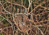 Moniliophthora perniciosa - Witch's Broom Fungus