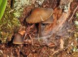 Mycena griseoviridis