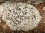 Graphis scripta - Script Lichen