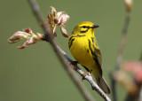 Prairie Warbler - Setophaga discolor