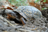 Eastern Box Turtle - Terrapene carolina (laying eggs)