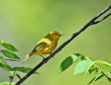 Yellow Warbler - Setophaga petechia